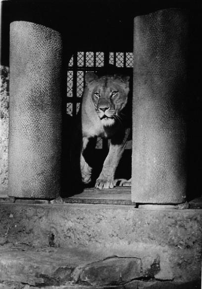 Löwe-in-durchgang-Kopie
